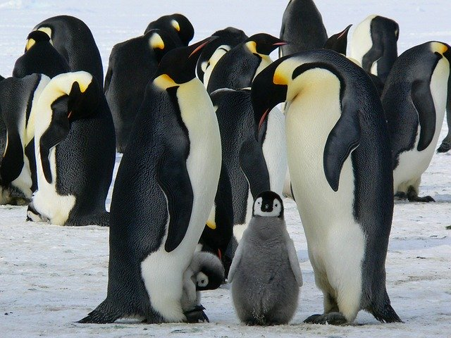 adult penguins with baby penguins
