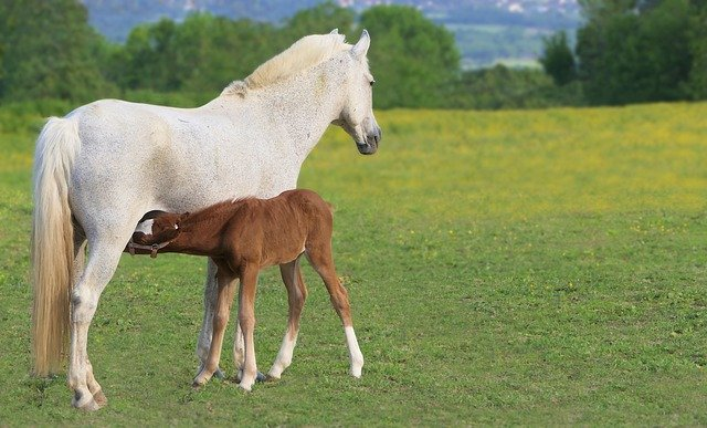 horse and foal feeding